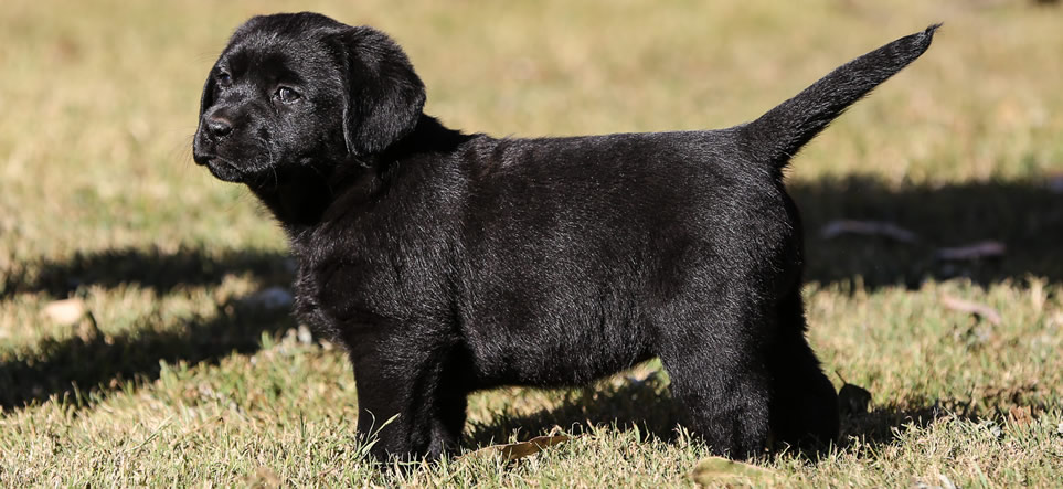 Labrador Kennel